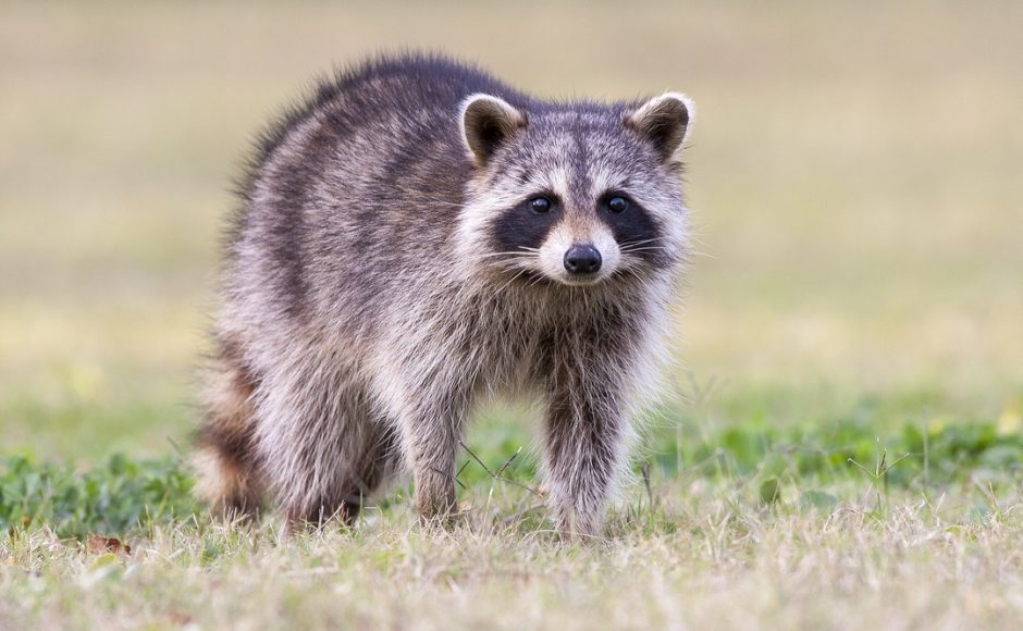 An Unexpected Guest: 5 Ways to Keep Raccoons Out of Your Home