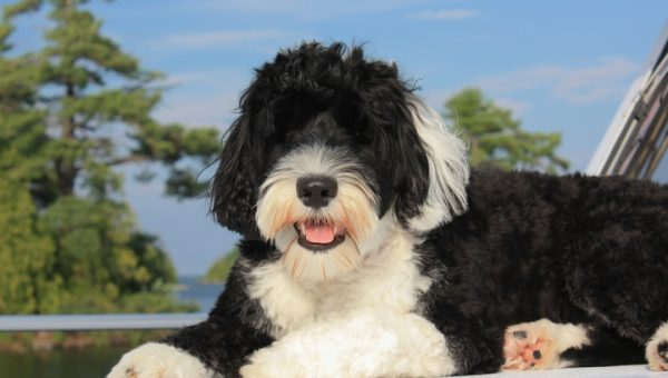 5 Traits You'll Love About Your Portuguese Water Dog