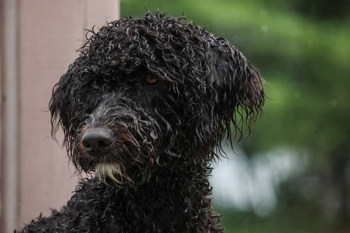 4 Reasons Why Portuguese Water Dogs Are Great Family Pets