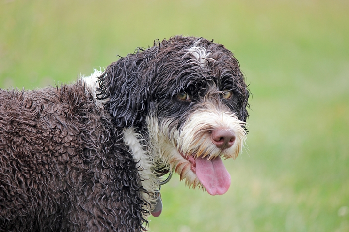Does Portuguese Water Dog Puppy